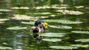 Duck Drake Nuphar Lutea Clean