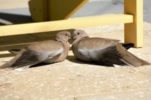 Pigeon Mates Crossing Beaks