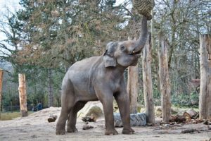 Elephant Asian Elephant Zoo