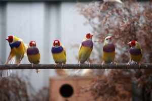 Finches Birds Small Colorful Sweet