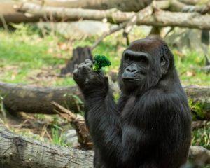 Gorilla Zoo Monkey Animal Ape