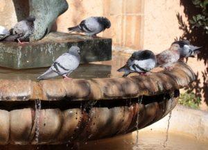 Pigeons Drink Water Birds Bathroom