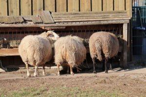 Sheep Manger Feeding Sheep S Wool