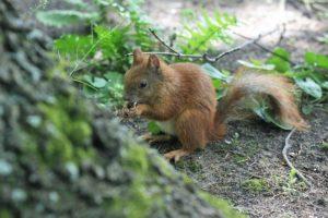The Squirrel Park Kita Ruda Walnut